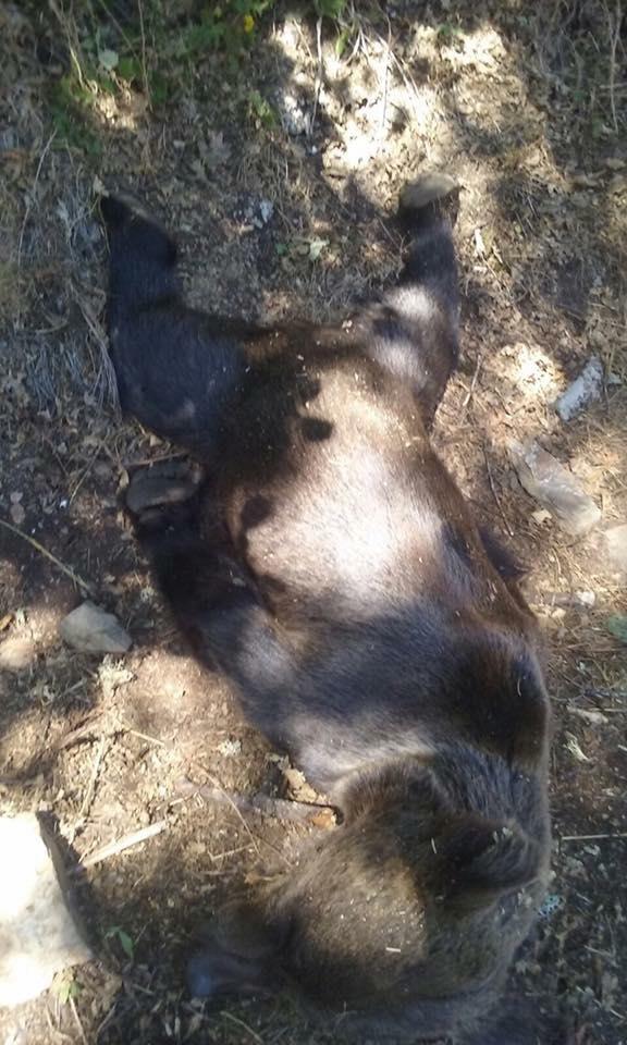 Los resultados preliminares de la necropsia efectuada al oso hallado en Moal apuntan a muerte por disparo