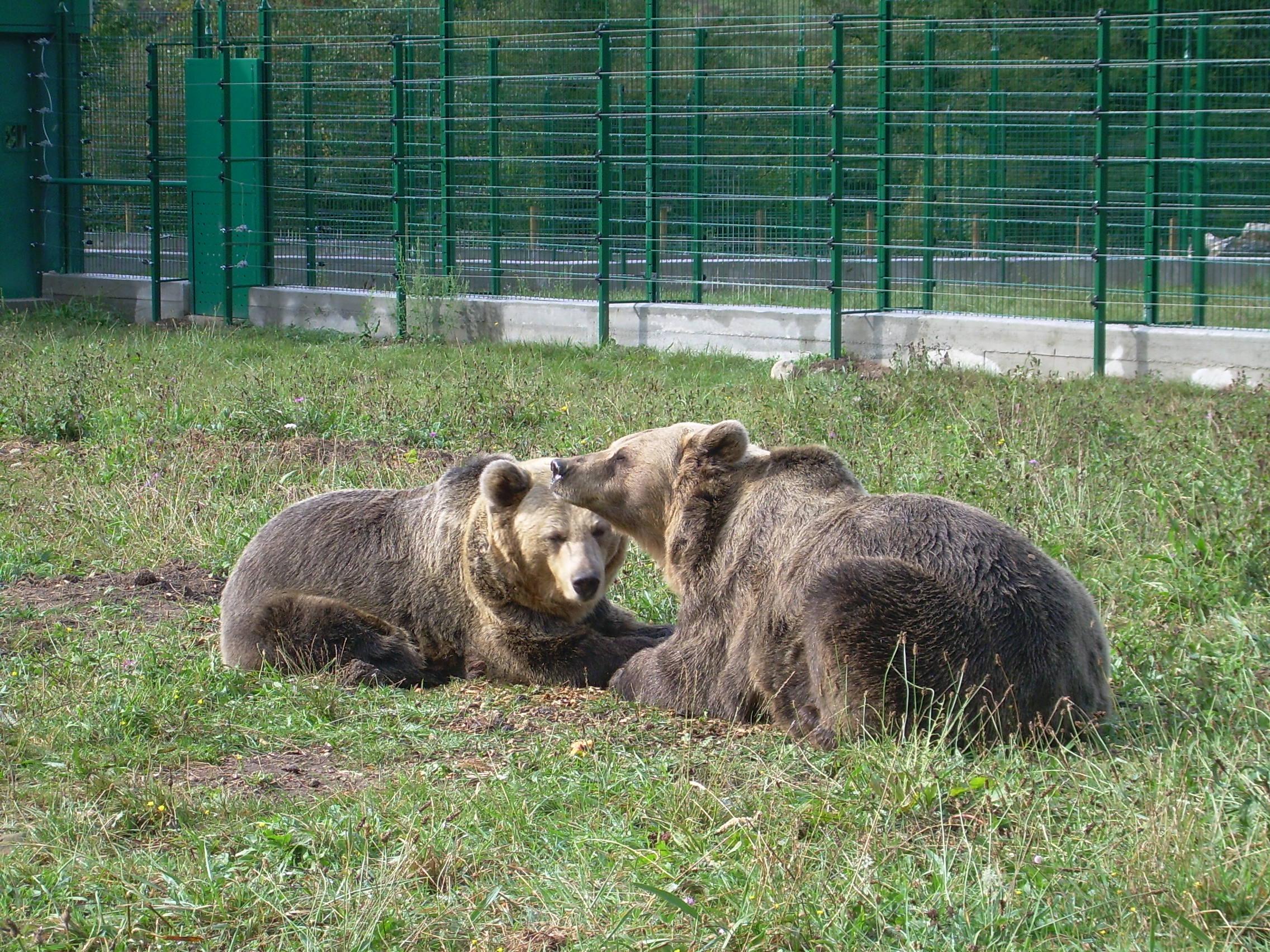 Trabajando el bienestar de los osos pardos cantábricos cautivos. Mejora de las instalaciones y técnicas de trabajo.