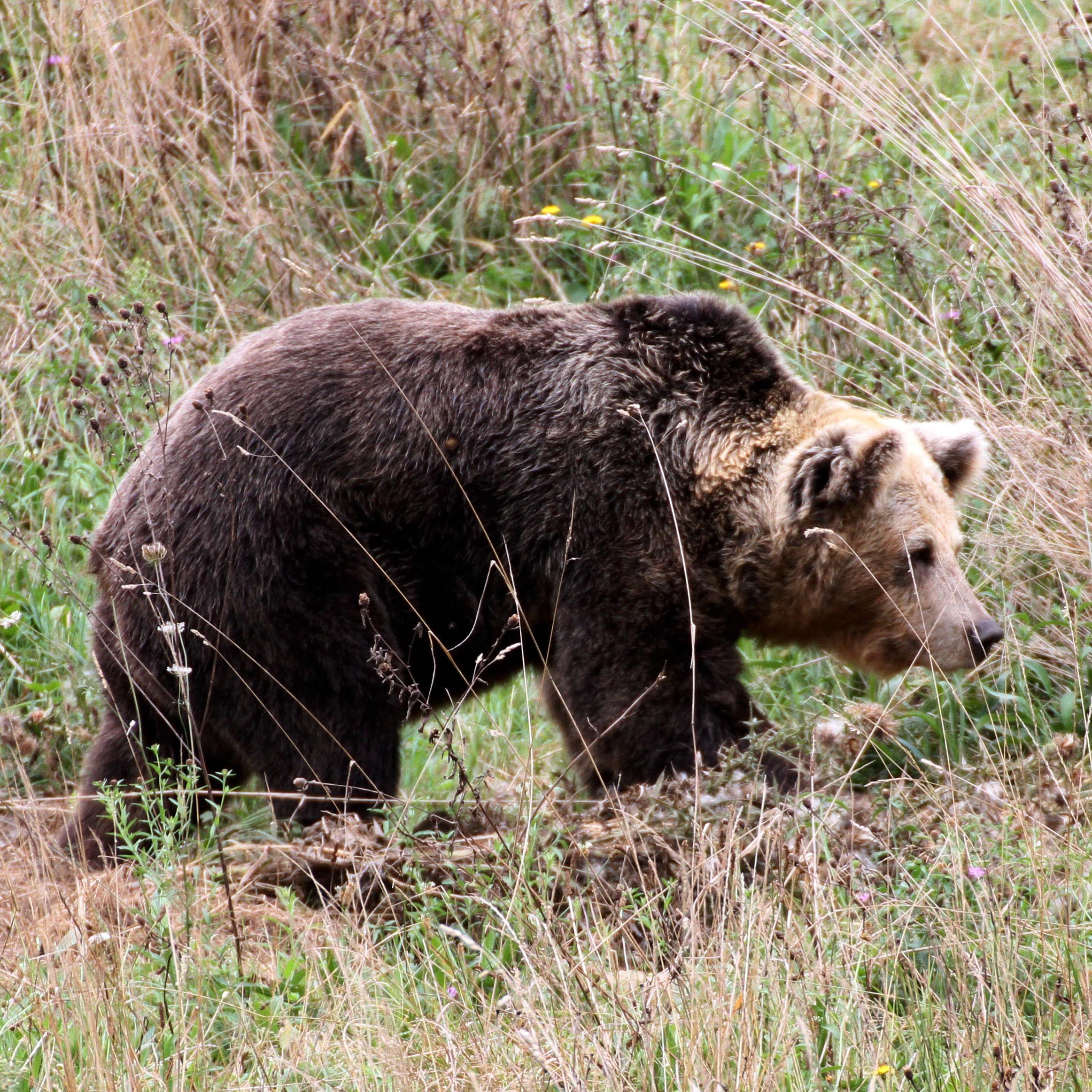 La FOA elaborará un vídeo sobre la evolución del oso pardo