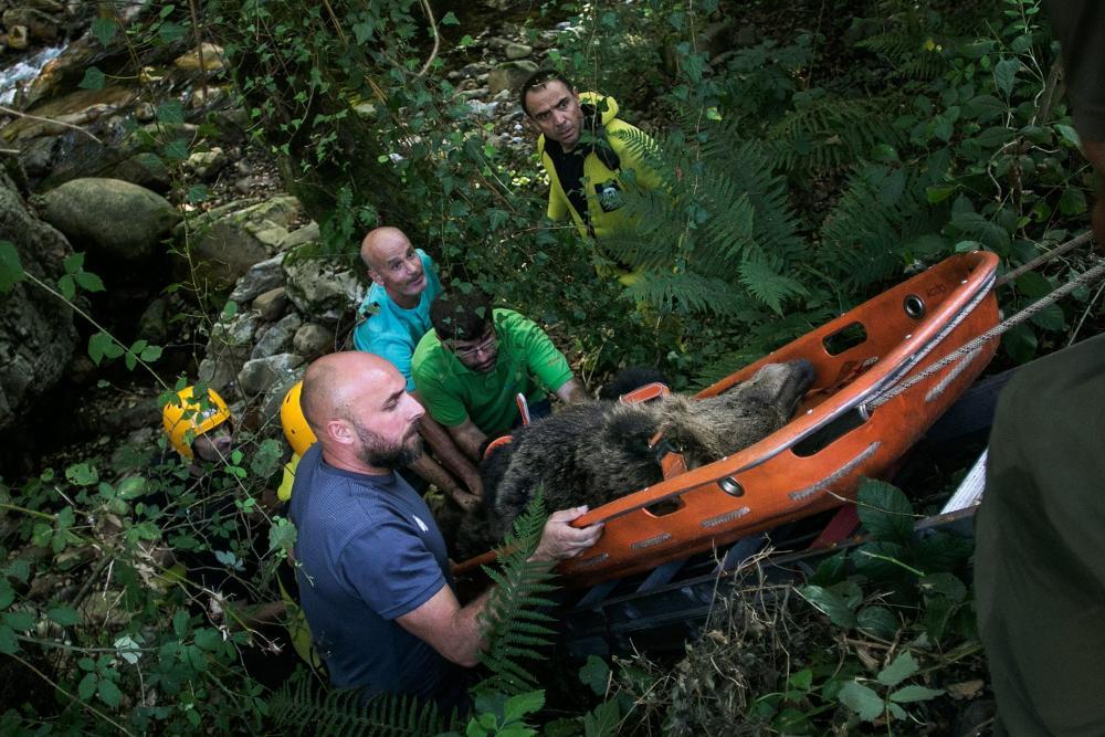 La FOA participó en el operativo de rescate de la osa que apareció herida en septiembre en Proaza