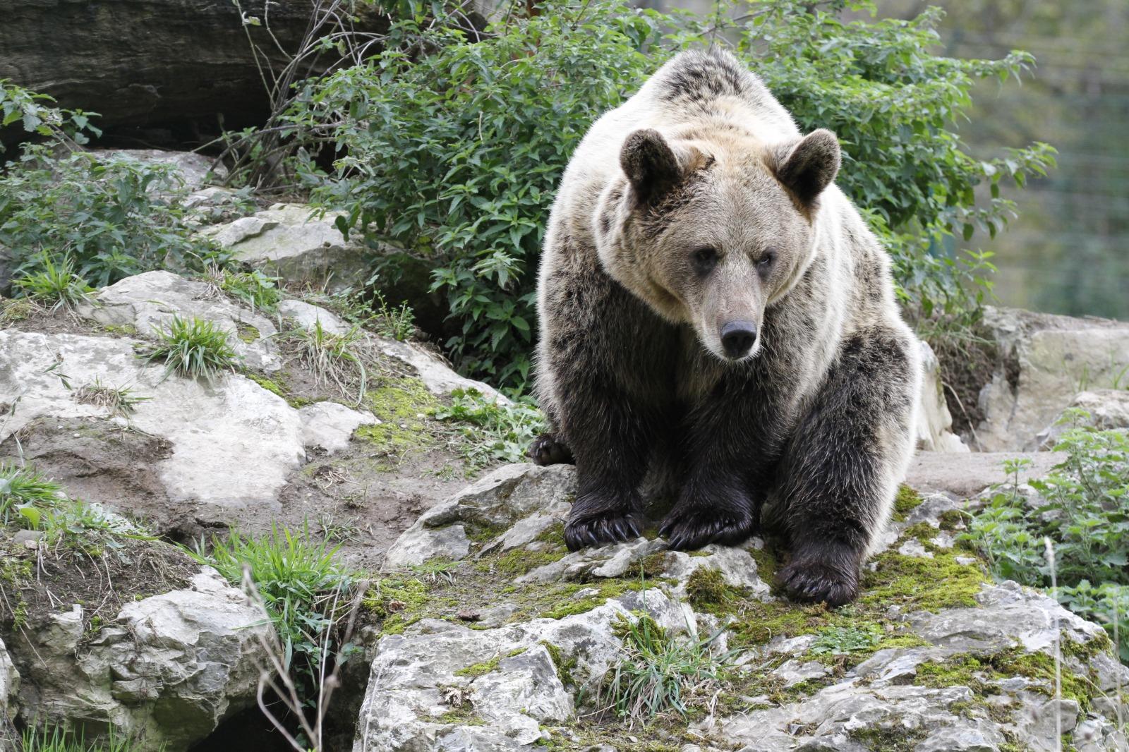 """¿Sabías por qué el oso es considerado una especie """"paraguas""""?"""