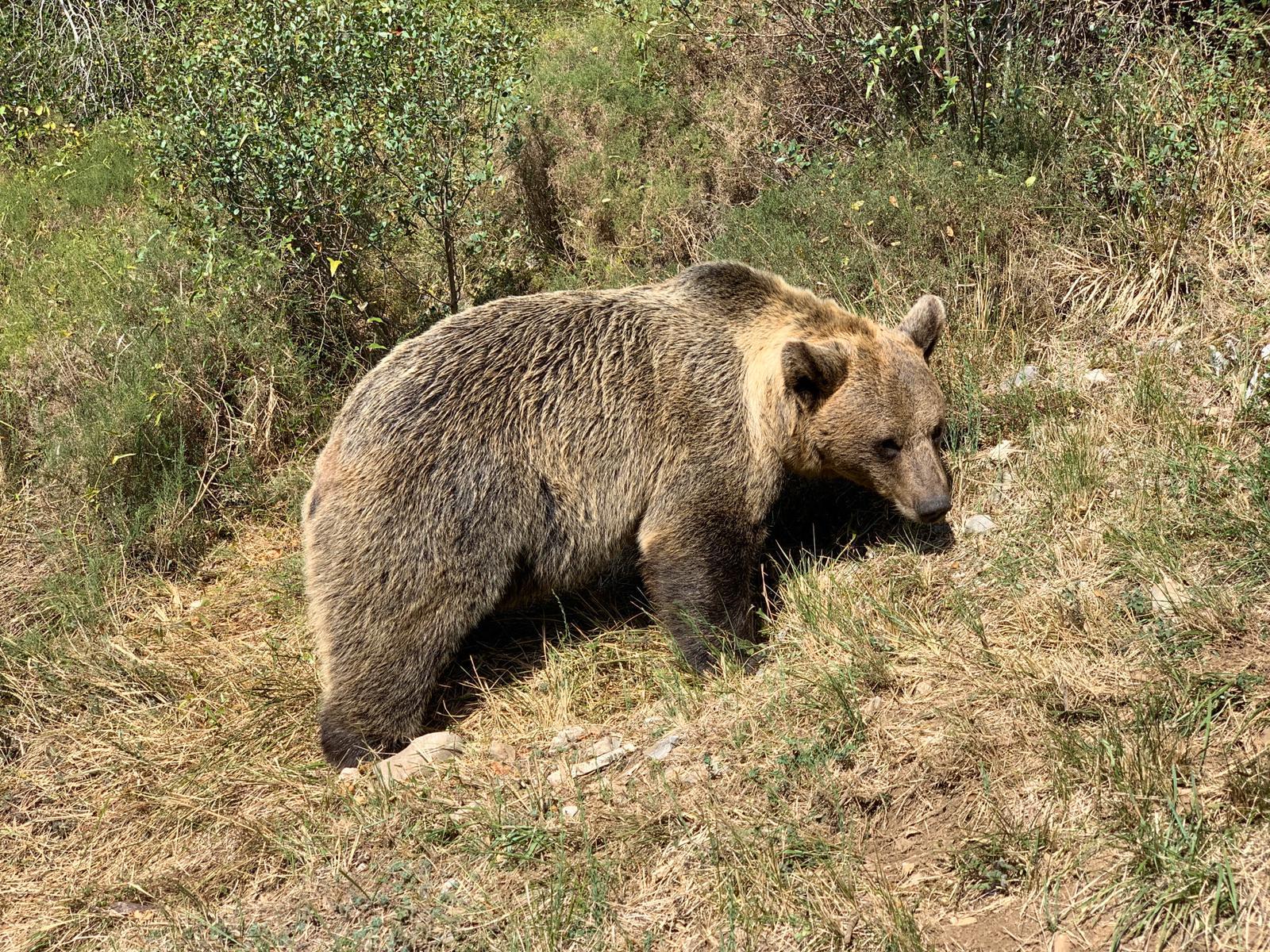 ¿Sabías que, durante el otoño, los osos pardos pueden aumentar su peso en más de un 30%?