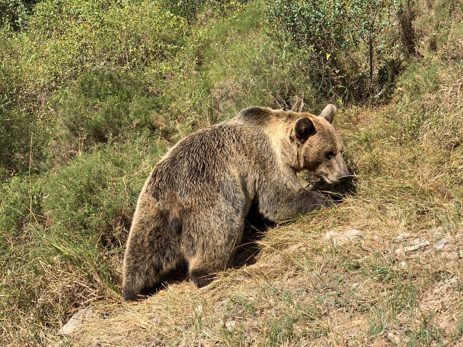 ¿Sabías que… la conservación del oso pardo también contribuye a frenar el cambio climático?