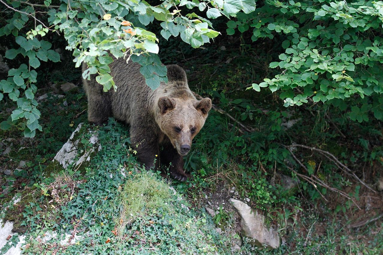 ¿Qué hacer ante la presencia de un oso?
