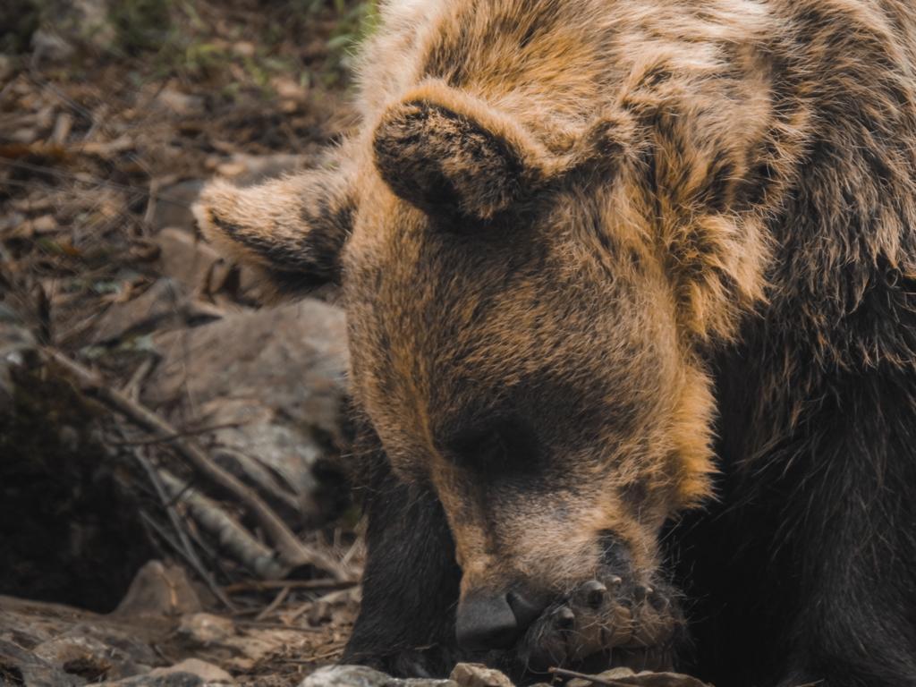 ¿Sabías que… perseguir a un oso desde un coche está penado por ley?