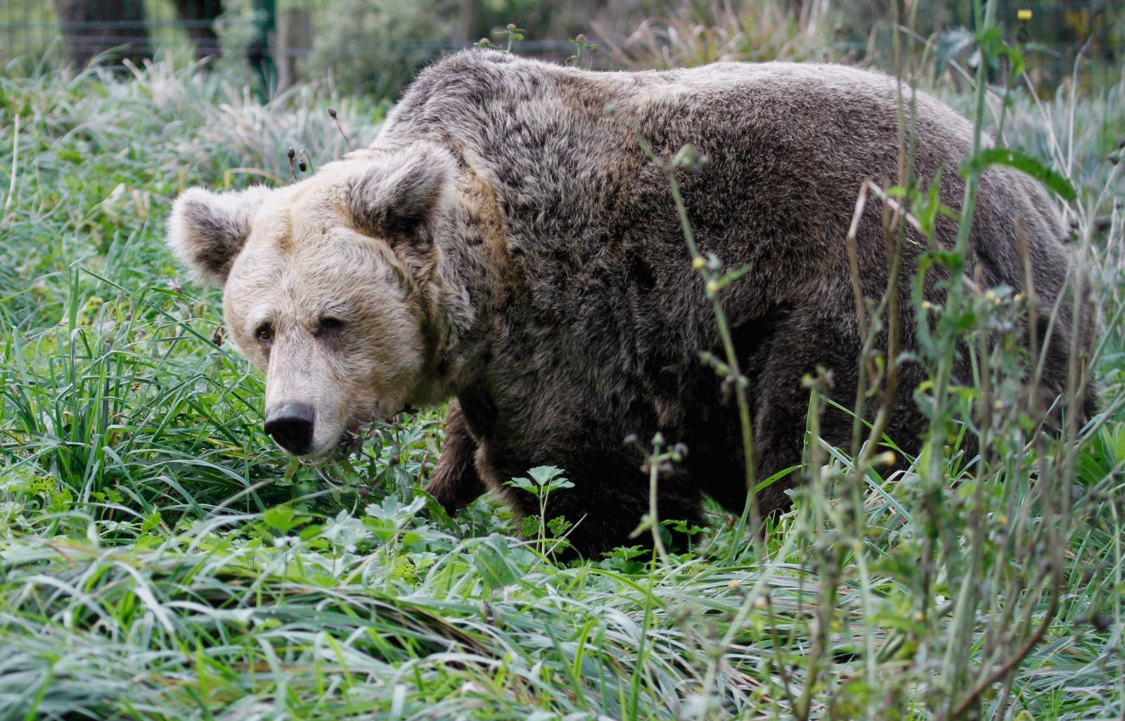 La FOA promueve una red europea de cooperación para la rehabilitación de osos pardos