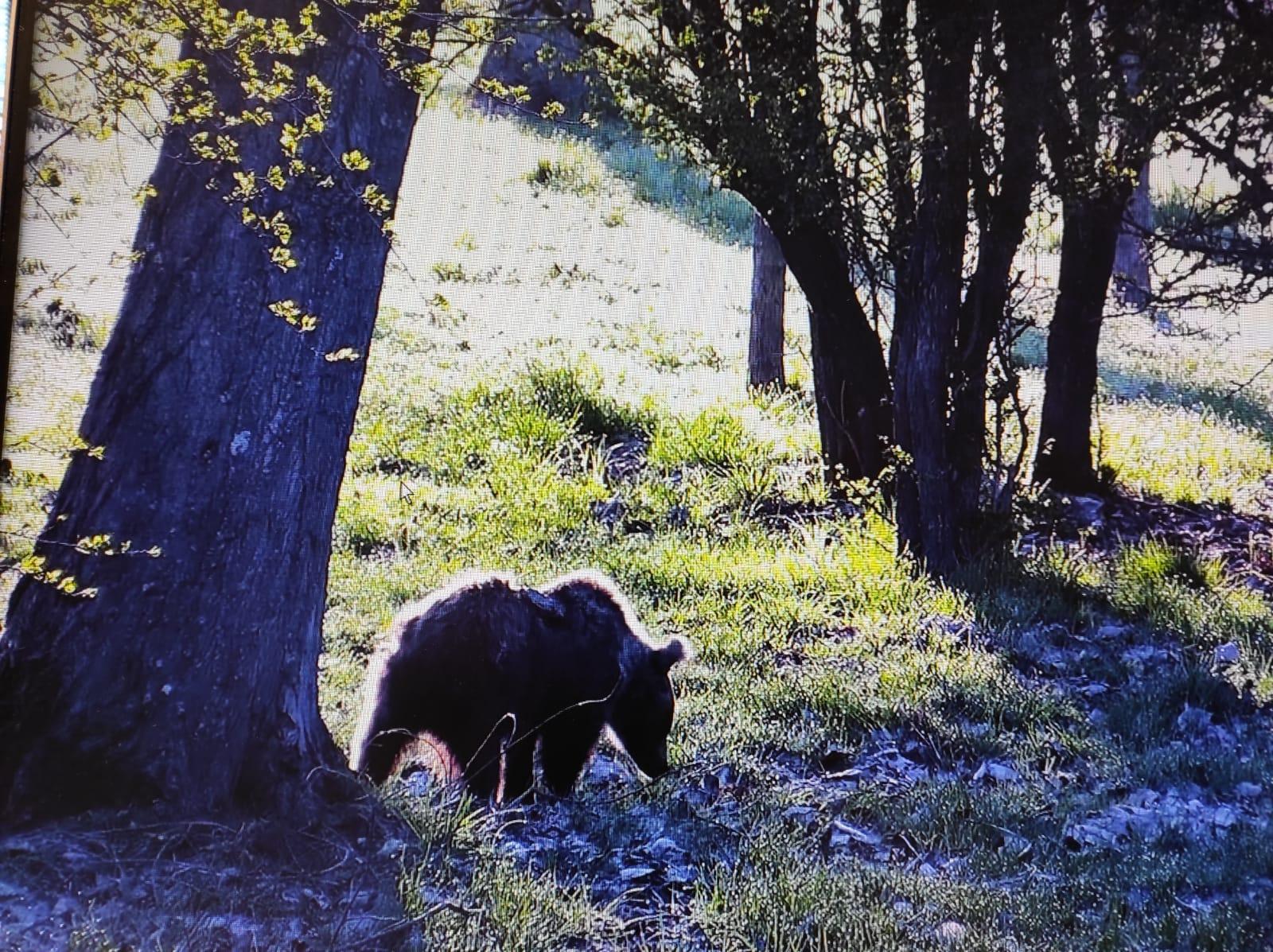 La osezna recogida en Somiedo a finales de agosto del año pasado, reintroducida en el Parque Natural de Redes
