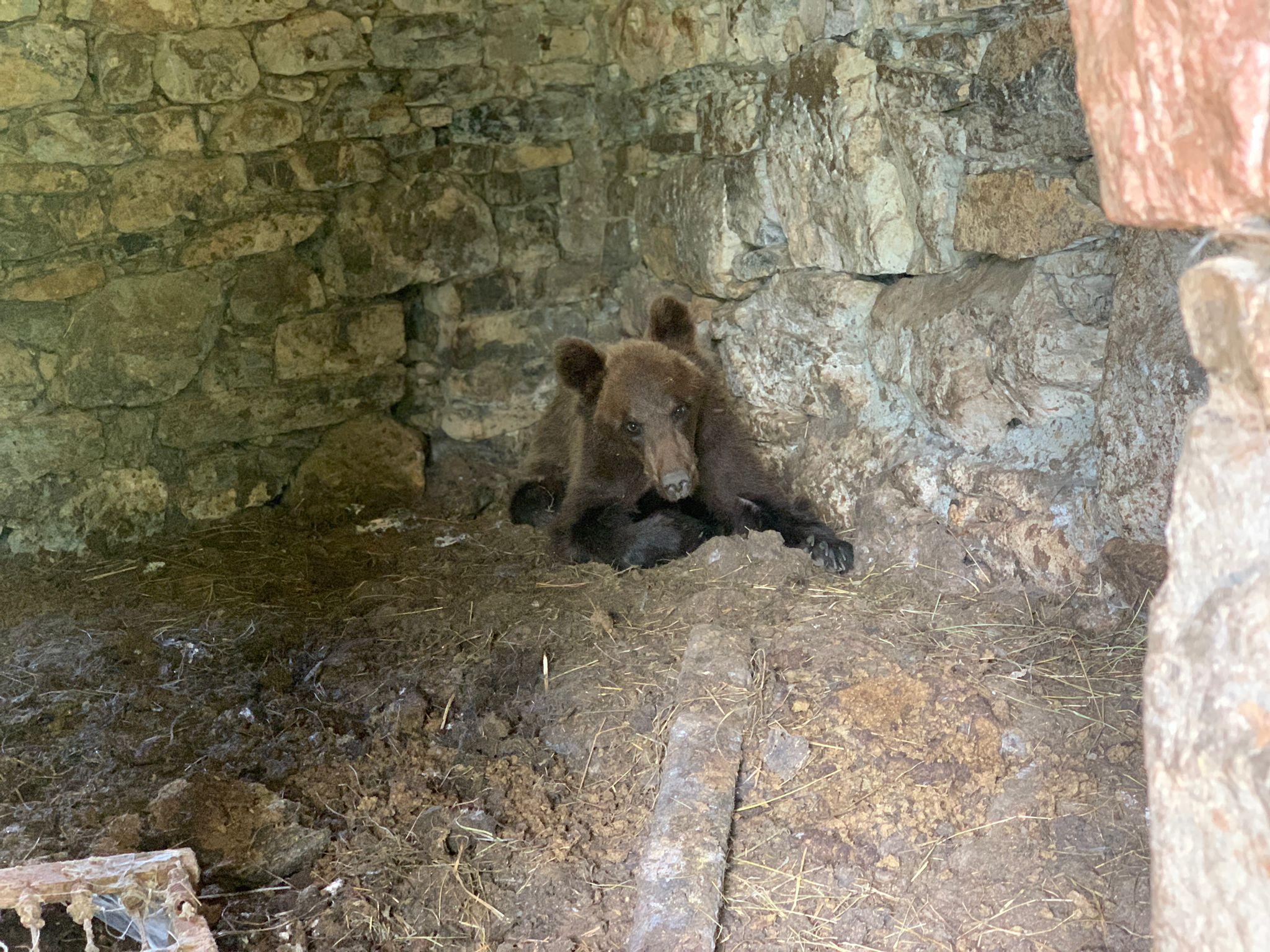 El Principado recoge un osezno de dos años en las inmediaciones de Cuetos, en Proaza